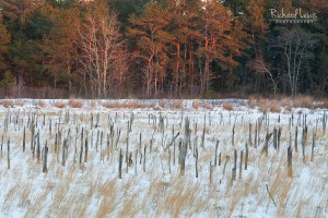 Cold Winter Light in the Pine Barrens