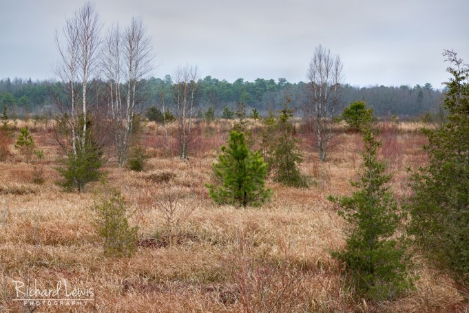 Trees In An Old Bog in the Pine Barrens by Richard Lewis