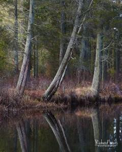 Cedar Reflections on the Batsto River