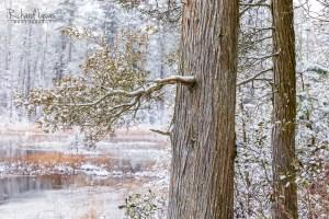 Pine Barrens Cedars In The Snow