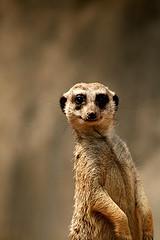 Meerkat van corey