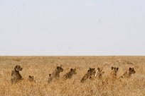 Lions hunting hartebeest - Serengeti