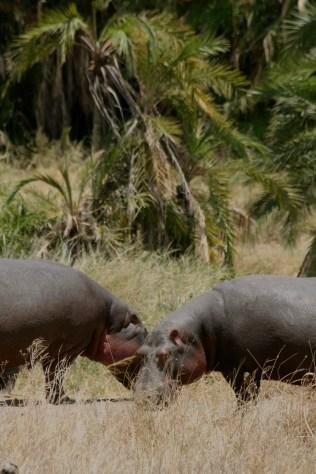 Hippos grazing - Serengeti