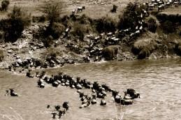 Wildebeest crossing - Mara River