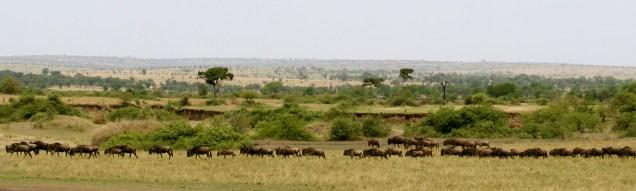 Wildebeest - near Mara River
