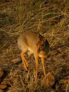 Dik dik - Serengeti