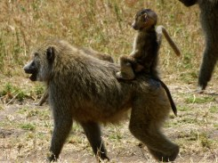 Baboon with young - Serengeti