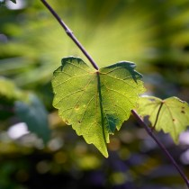 Muscadine Leaf Detail; Skye Development Co.