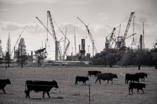 Cows Grazing with Fertilizer Plant Under Construction in background, near Donaldsonville, Louisiana, 2015