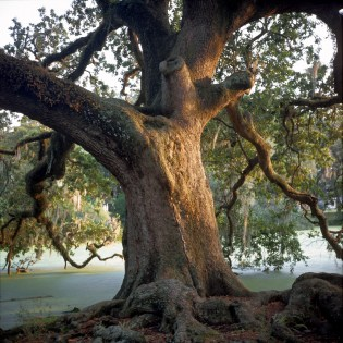 Thirsty Oak, City Park, New Orleans; 2000
