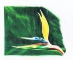 Bird of Paradise colored pencil