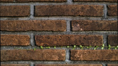 A young creeper plant growing in between the bricks of a wall.