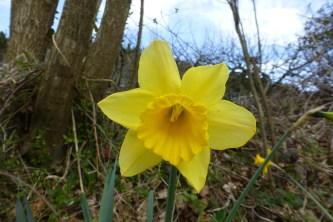 Daffodil petals