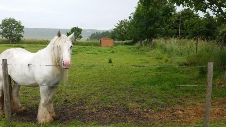 Feeding apples to the white horse (5)