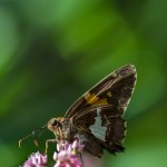 Silver-spotted Skipper butterfly.