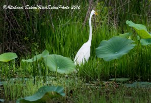 Egret at Lacassine National Wildlife Refuge.