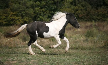 fantasy horses - Spotted horse galloping in pasture