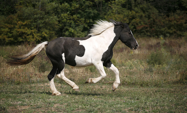 fantasy horse - Spotted horse galloping in pasture