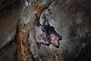 Bat Removal & Control