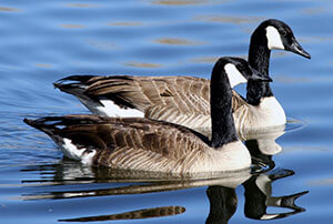 Canada Geese Removal & Control