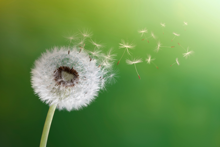 Dandelion seed head scattering seeds in the wind, an image of the unfocused mind that could benefit from some mindfulness practice. Mindfulness supports psychotherapy at Richmond Psychotherapy.