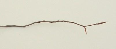 Fagus grandiflora, American beech - Long, pointed buds