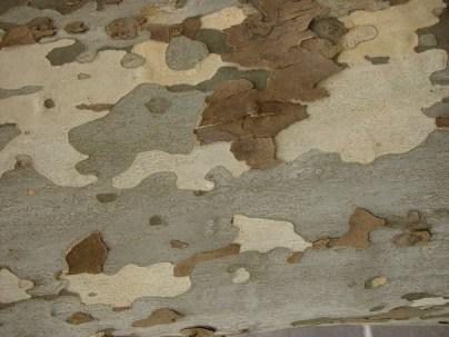 Platanus occidentalis, sycamore - camouflage