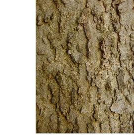 Celtis occidentalis, hackberry - gray-brown, smooth with areas of corky warts & ridges