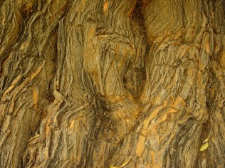 Maclura pomifera, Osage orange - orange-brown, developing scaly ridges with irregular furrows
