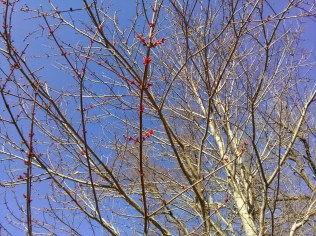 Acer rubra, red maple - small red flowers bloom very early