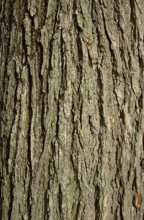 Ulmus alata, winged elm - gray to brown, divide into irregular flat ridges & fissures