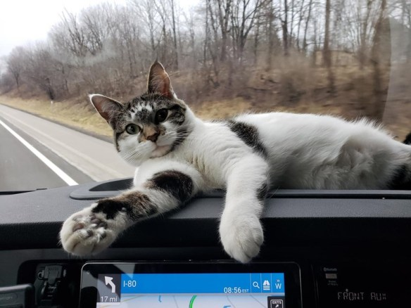 cats cat rescue story aww love animals beautiful travel trucking | This cat has saved my life as much as I have saved hers. When I found her she was nearly dead. Nursed her back to health and look at her now | cute cat black white and grey spots lounging chilling on a car dashboard