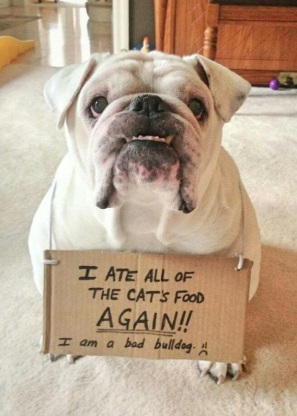 Dog - H ATE ALL OF THE CATS FOOD AGAIN! H am a bad bulldog.