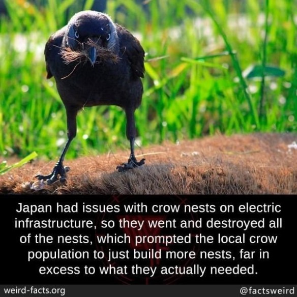 Bird - Japan had issues with crow nests on electric infrastructure, so they went and destroyed all of the nests, which prompted the local crow population to just build more nests, far in excess to what they actually needed. weird-facts.org @factsweird