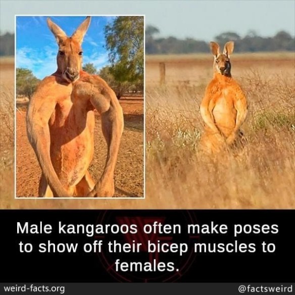 Terrestrial animal - Male kangaroos often make poses to show off their bicep muscles to females. weird-facts.org @factsweird