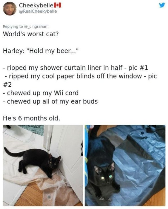 """Cat - Cheekybellel @RealCheekybelle Replying to @_cingraham World's worst cat? Harley: """"Hold my beer..."""" - ripped my shower curtain liner in half - pic #1 ripped my cool paper blinds off the window - pic #2 chewed up my Wii cord chewed up all of my ear buds He's 6 months old."""