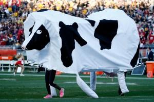 drunk cow