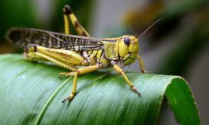 a locust