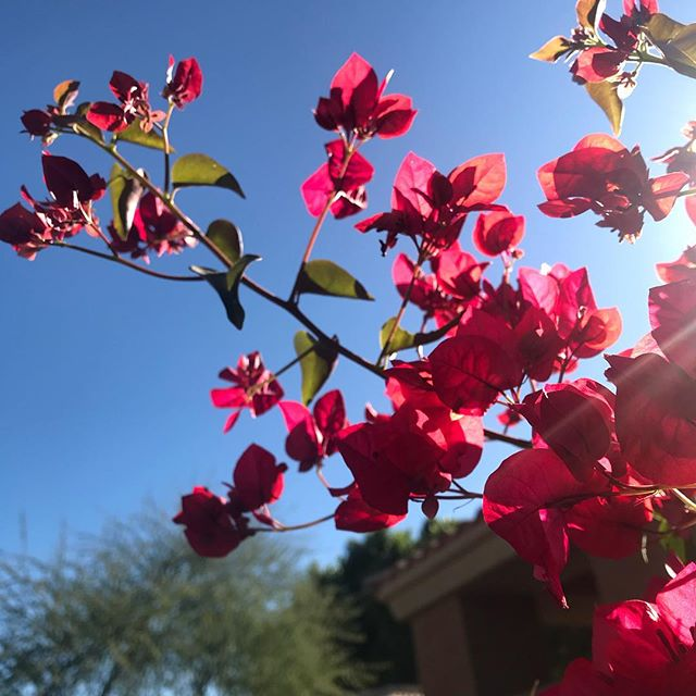 I love how there is always a riot of color in Phoenix, all year round. I can feel my brain trying to comprehend how the colors are so vivid they push the edges of our natural eange of perception. #gratitude #lovewhereyouare #flowers #riotofcolors