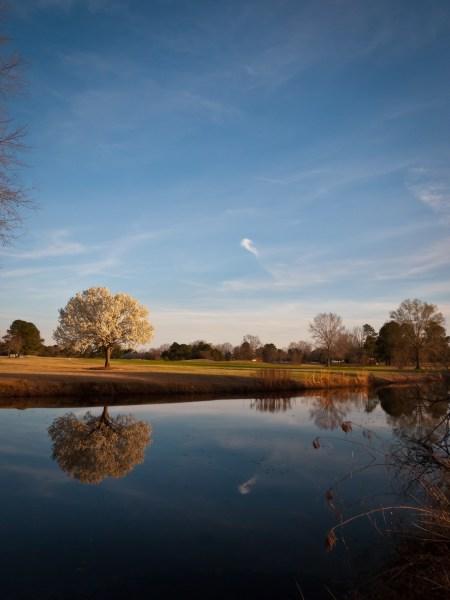 bradford-pear-tree-golden-hour