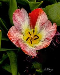 Center of a Tulip