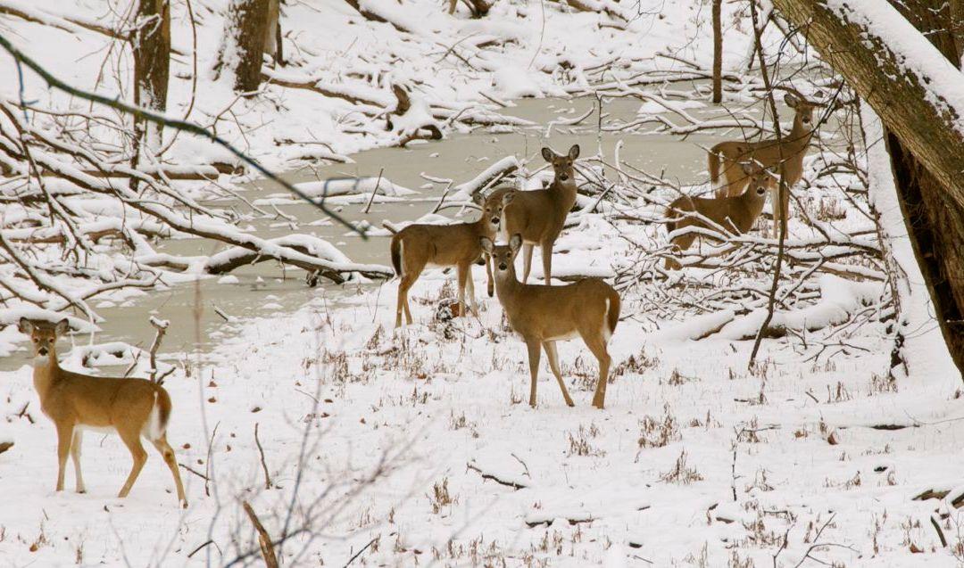 Deer Along the River Bottom