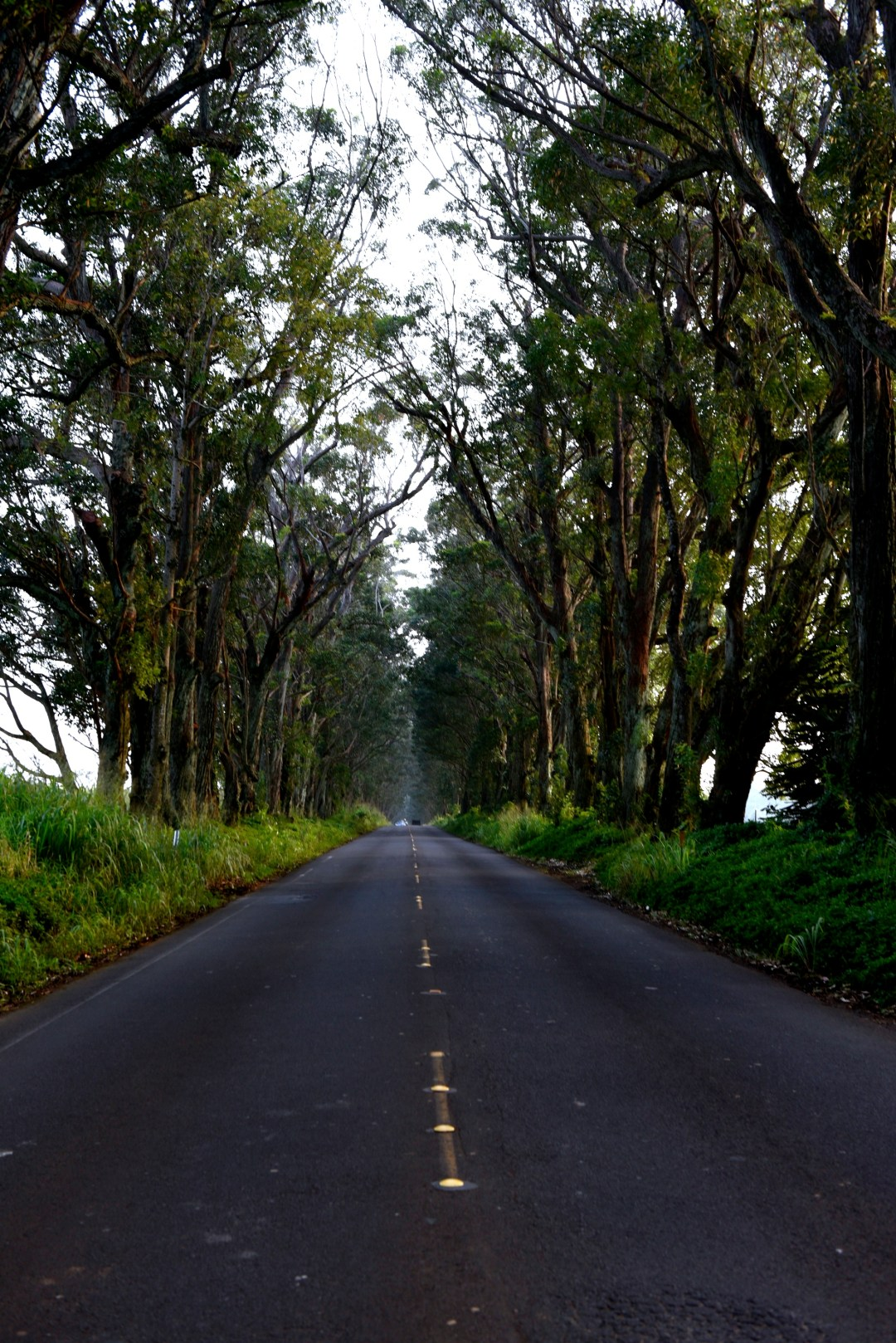 """The Tree Tunnel"" - John Wayne, in the movie Donovan's Reef, races a jeep though this eucalyptus lined road."