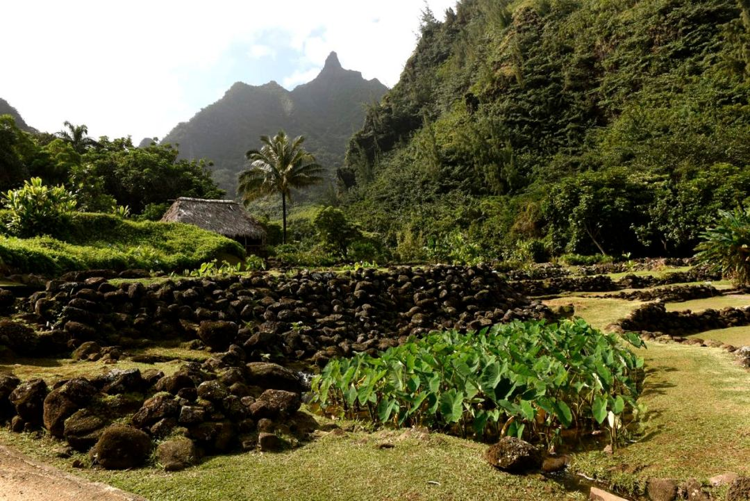 Kalo (Taro) plants, a staple of the Hawaiian diet