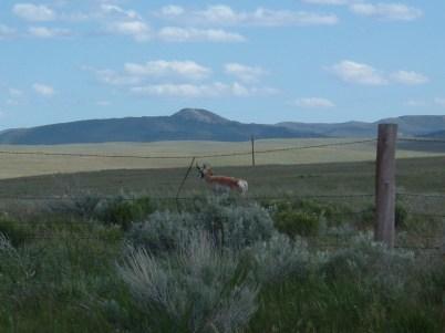 Pronghorn in Colorado