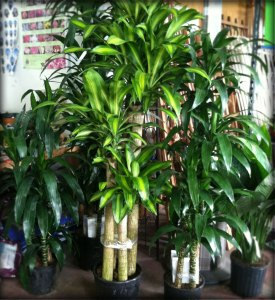 House interior plants ricky 39 s flower market for Planta tropical interior