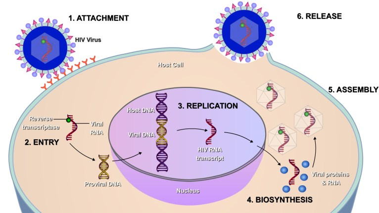 steps of the HIV life cycle