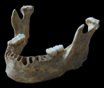 "A reconstruction of the unique jawbone of the ""Oase Man"" Credit: Svante Pääbo, Max Planck Institute for Evolutionary Anthropology"
