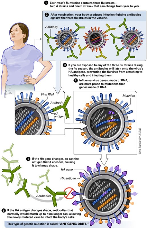 Antigenic Drift of the Flu Virus
