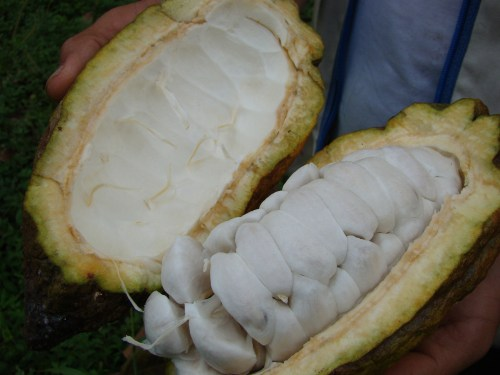 Cacao was originally eaten for its fruit rather than its beans